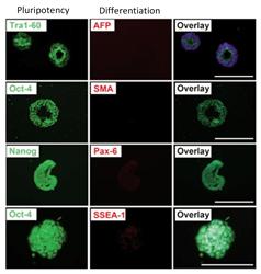 CERO 3D Cell Culture Bioreactor iPSC Pluripotency