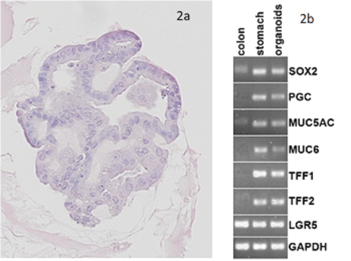 Staining of Gastric Organoids