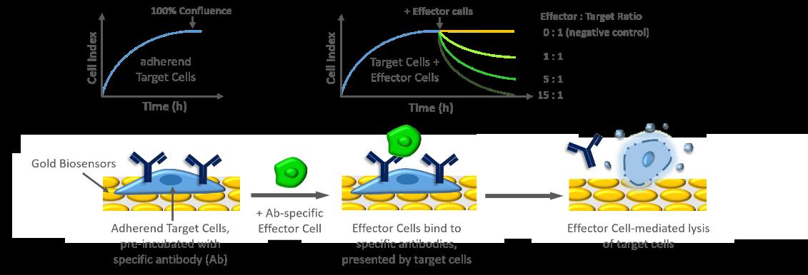 Antibody-dependent cellular cytotoxicity