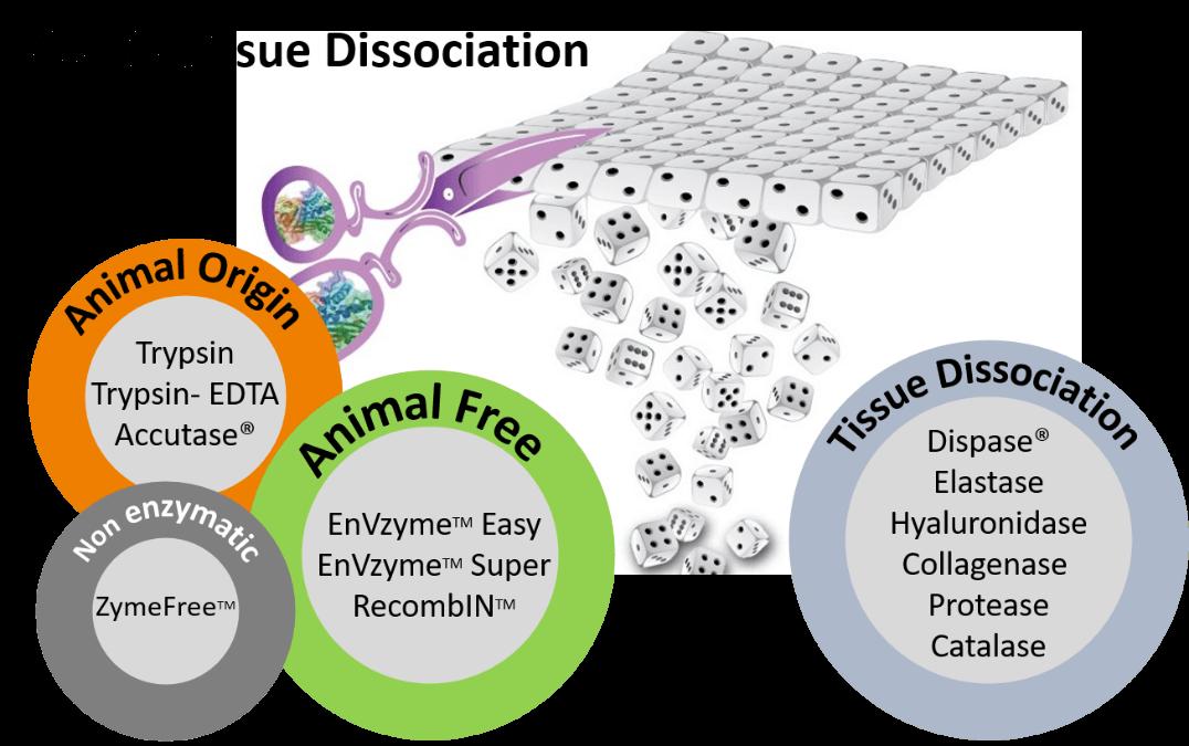Cell & Tissue Dissociation Reagents